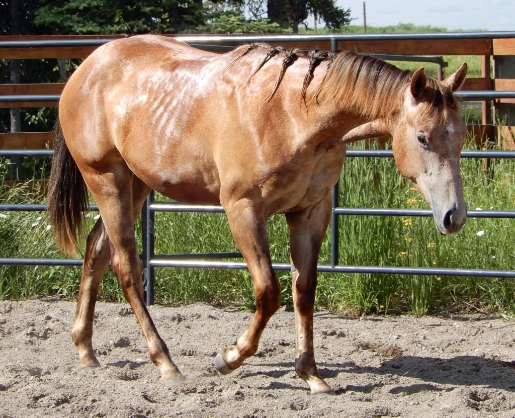 Lipizzaner mare, Abiqua. | Horses for sale, Horses