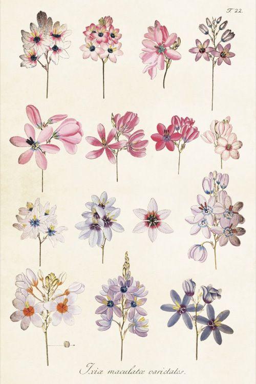 ST Vintage Flowers 'Poster Ixia 35 x 50 cm'