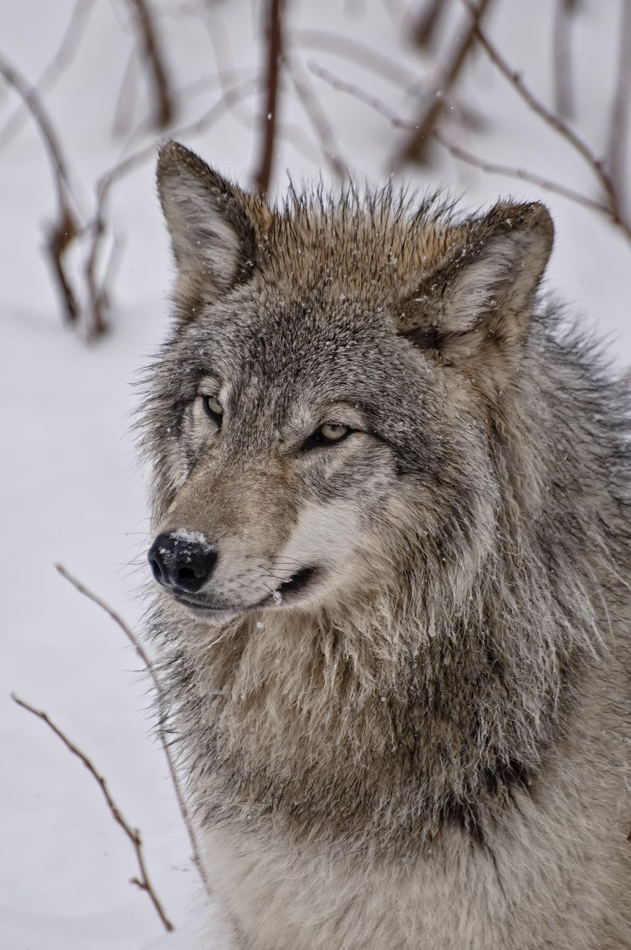 Timberwolves Wolf Pictures Wolf Love Animals
