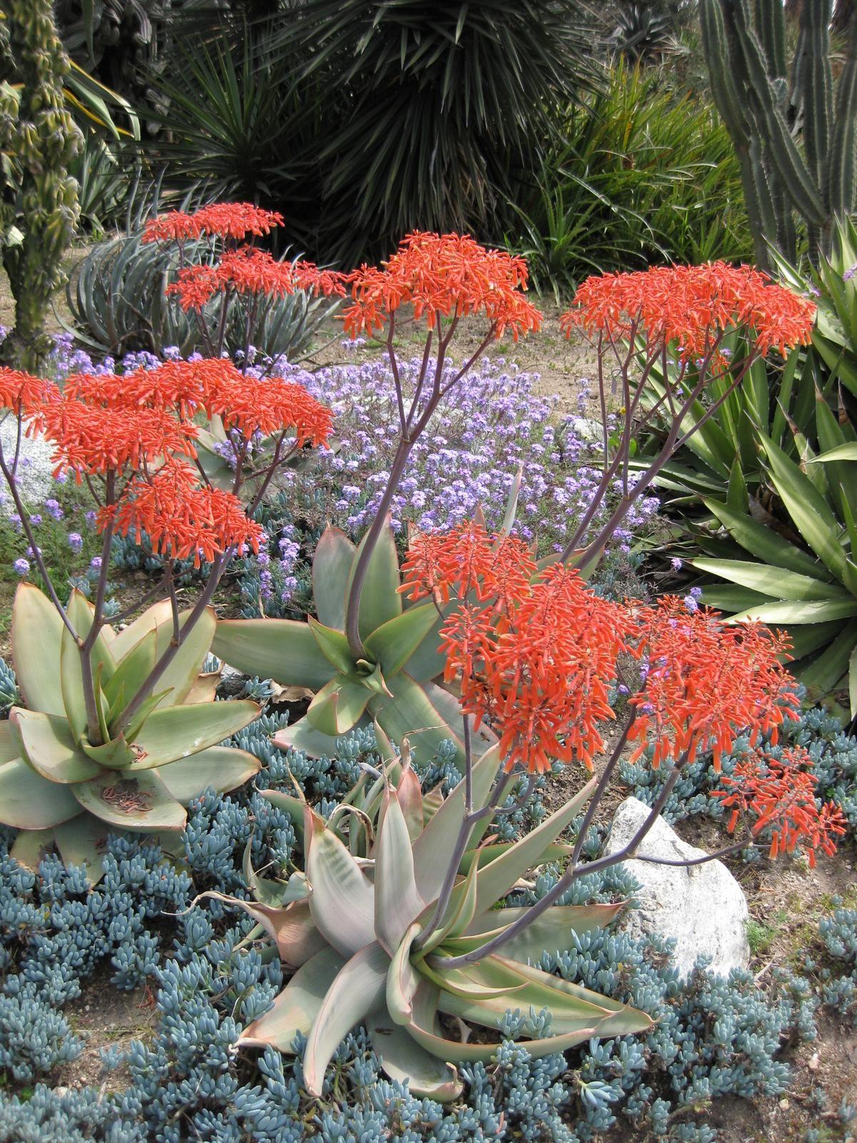 Aloe Striata Wikipedia The Free Encyclopedia Jardin De