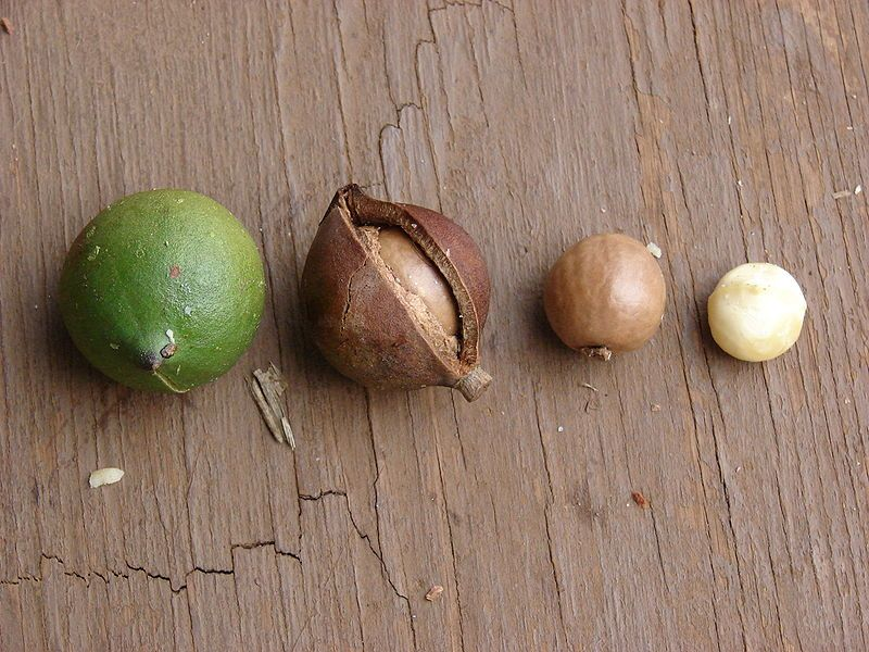 cf0ed9b0a3ce889cfdb4d54d70bcfa55 - How To Get Macadamia Nuts Out Of Their Shells