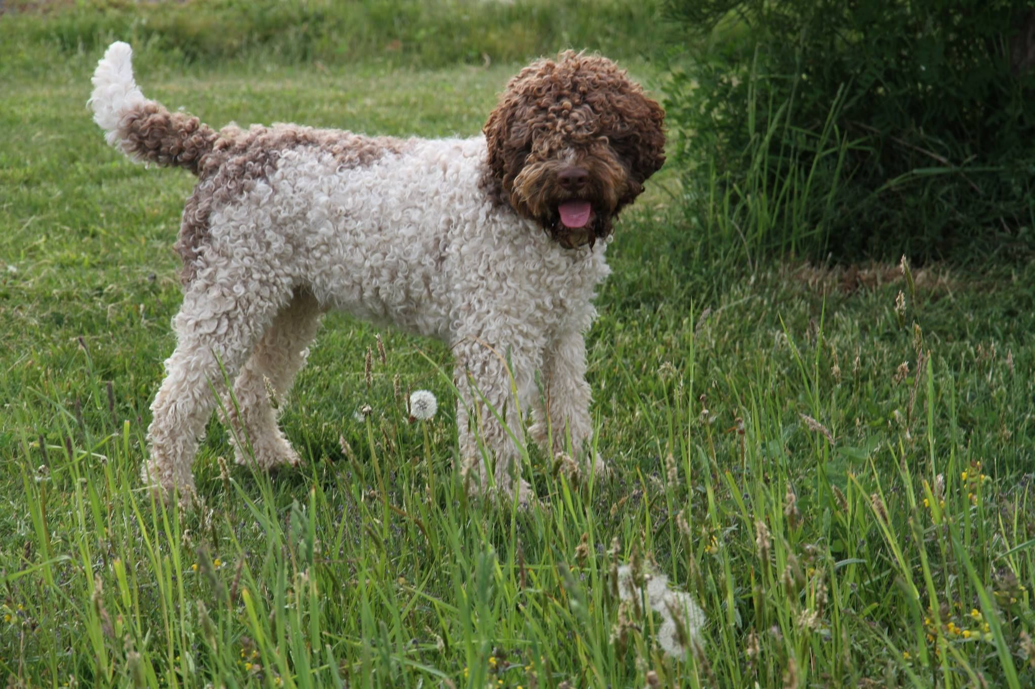 Ducketts Championed Master Lagotto At Lagotto Romagnolo Of Canada Duckett Truffiers Best Dogs For Families Lagotto Romagnolo Family Dogs