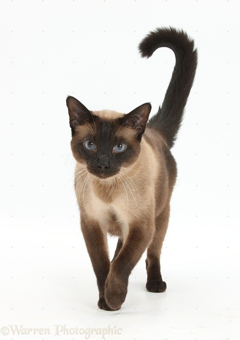 Seal Point Siamese Cross Cat Photo Seal Point Siamese Siamese Cats Siamese Cats Blue Point