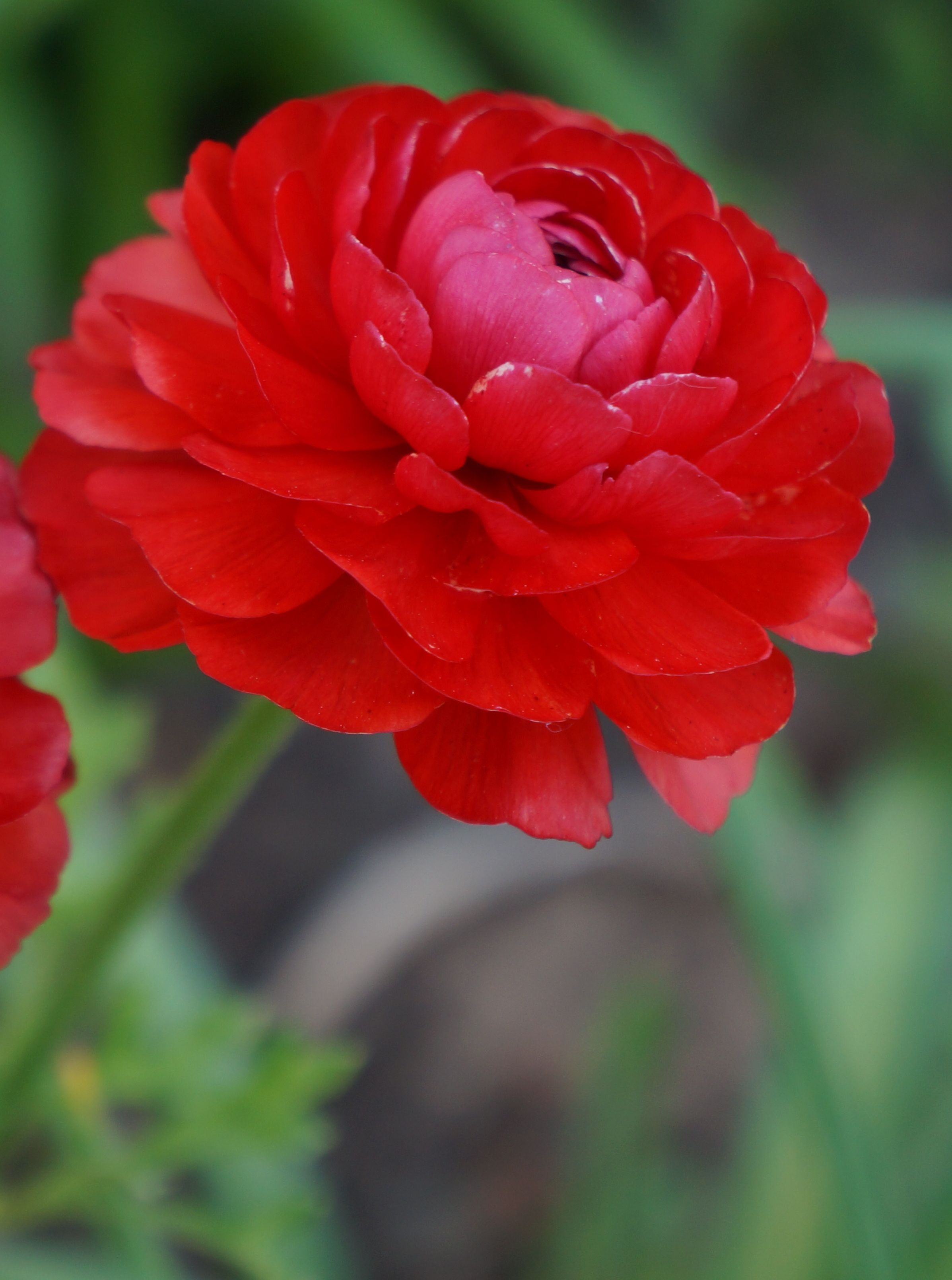 Persian Buttercup Ranunculus Asiaticus Plant In Fall Blooms Late