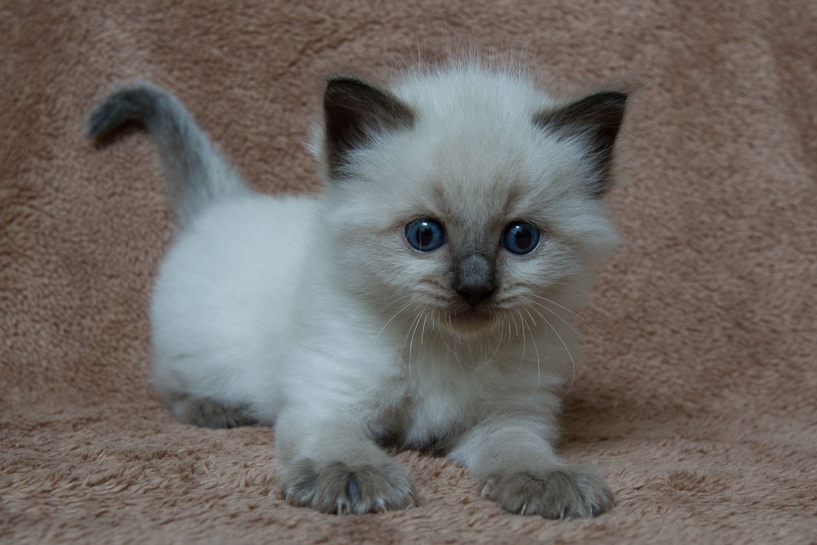 2014 Mack A Zwollywood Cat 5 Weeks Old Ragdoll Kitten Seal Colourpoint Cars Litter