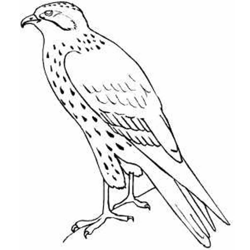 Hawk Falcon Coloring Pages for Kids Preschool and
