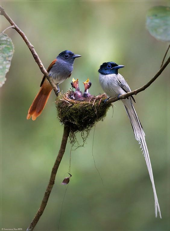 Asian Paradise Flycatcher (Terpsiphone paradisi) | Beautiful birds ...