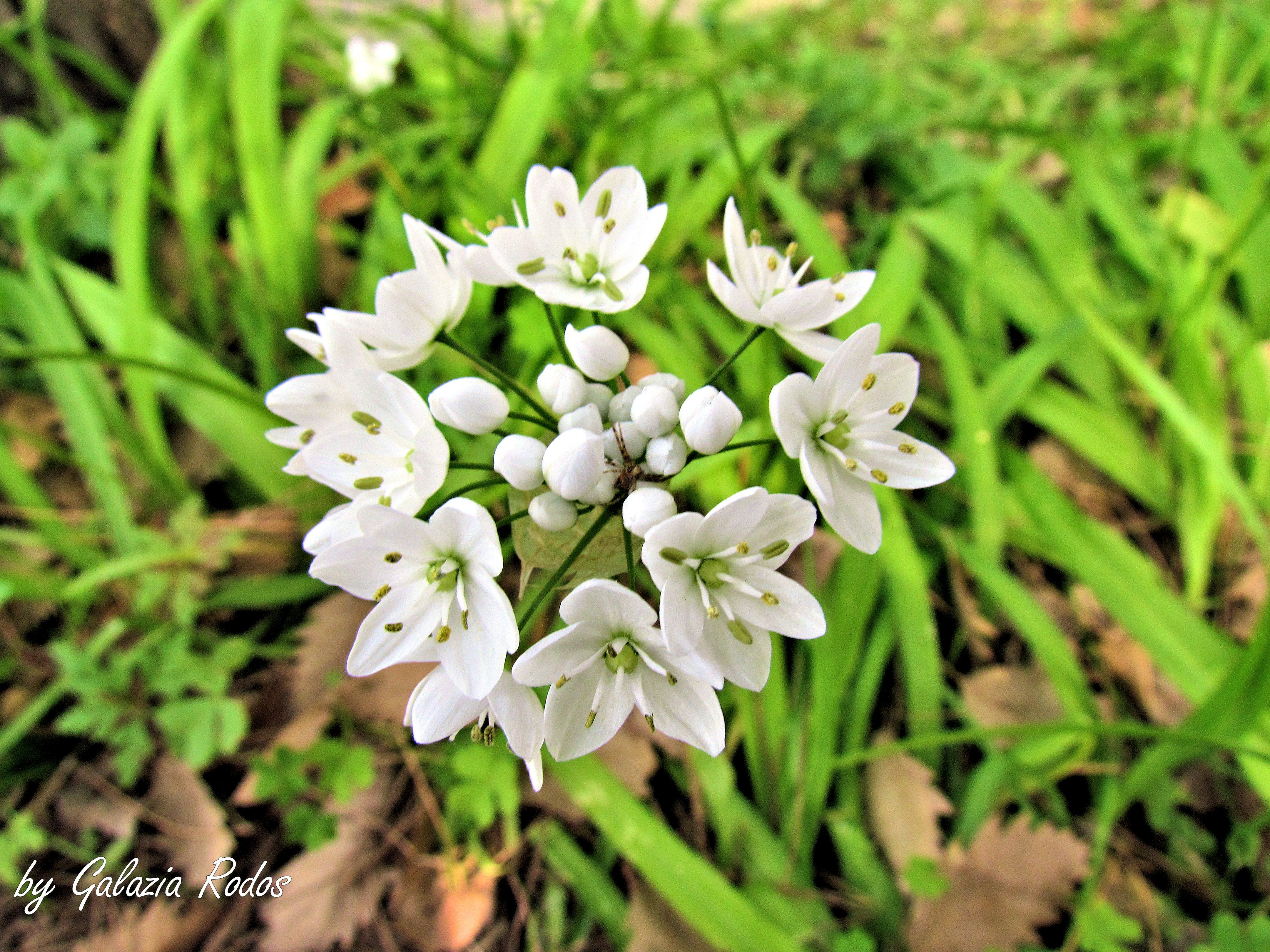 wild garlic - Rhodes island