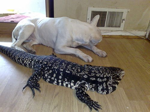 Cat That Grows As Big As A Dog