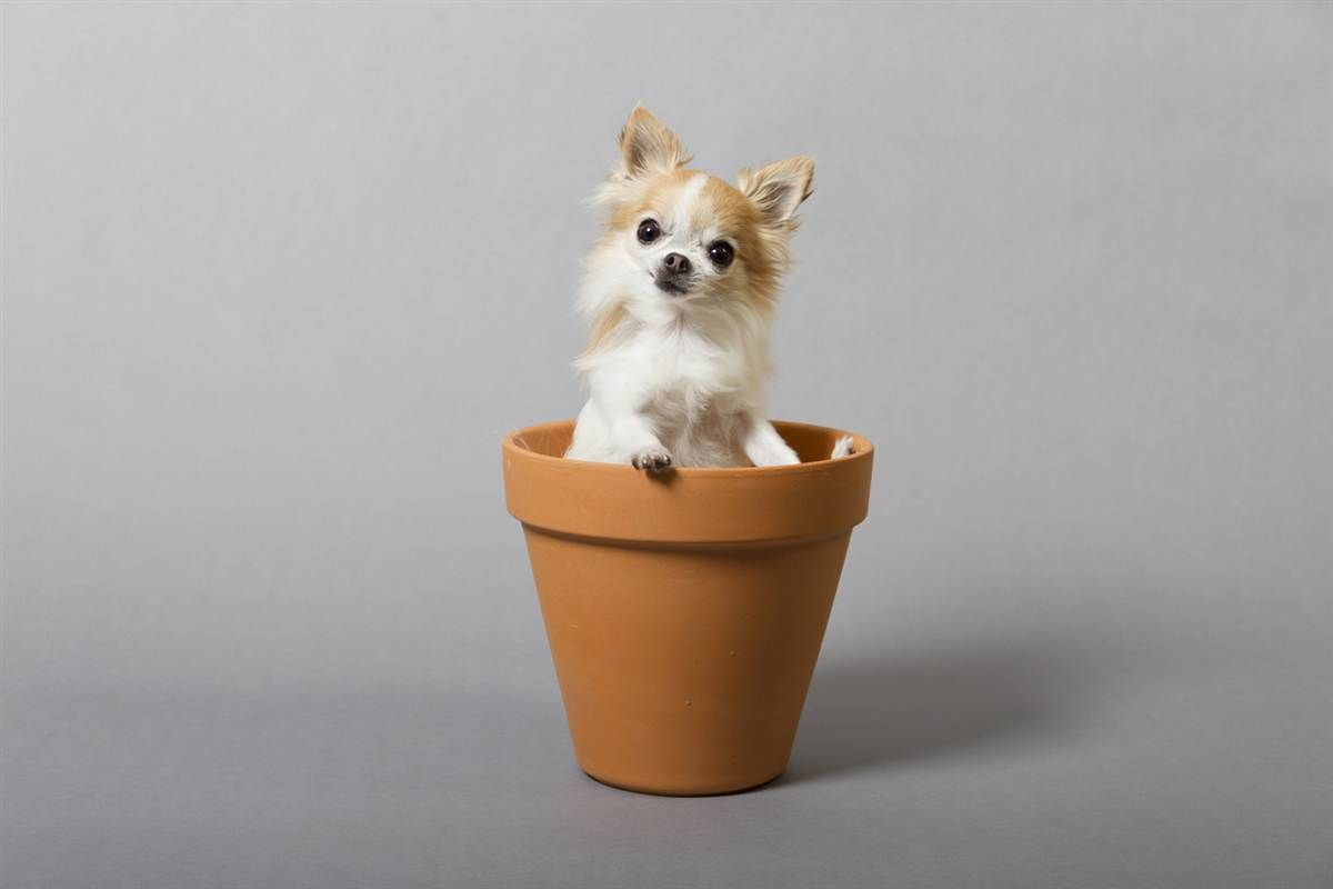 The world's smallest service dog is as cute as her name: Cupcake. The female long-haired Chihuahua measures just 6.25 inches (15.87 centimeters) tall and is owned by Angela Bain of Moorestown, N.J. (Photo: Philip Robertson / Guinness World Records 2013 Edition)