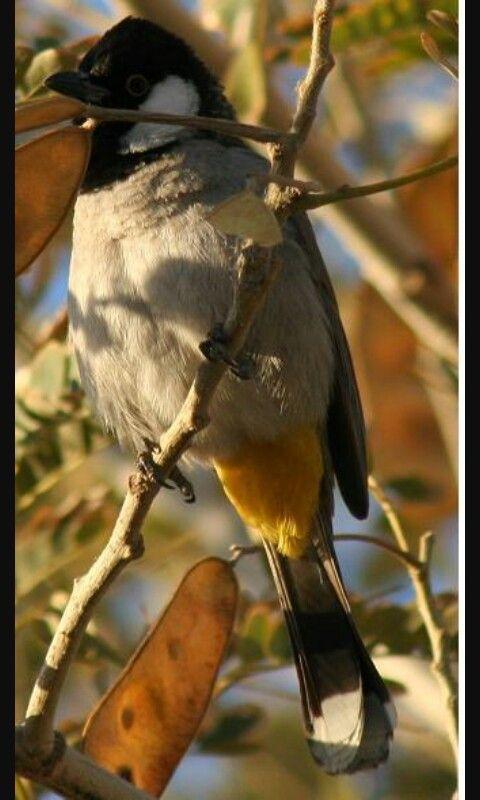 طير عصفور البلبل العراقي ابو الخدود البيضاء طائر يتربى في المنزل وصوت لديه جميل Animals Birds Bulbul