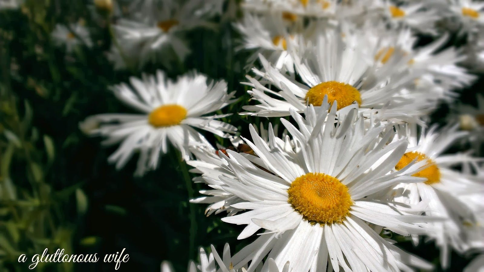 daisy, daisies