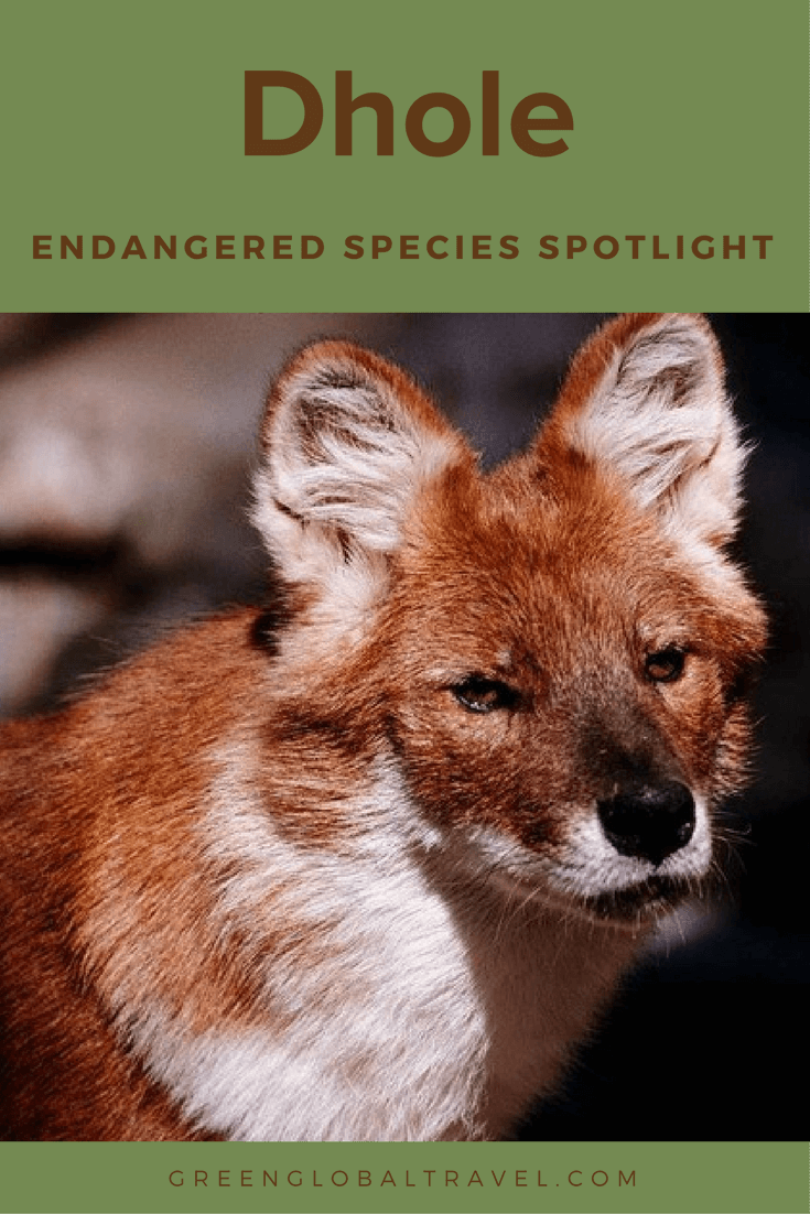 50 Facts about the Dhole (a.k.a. Indian Wild Dog) Wild