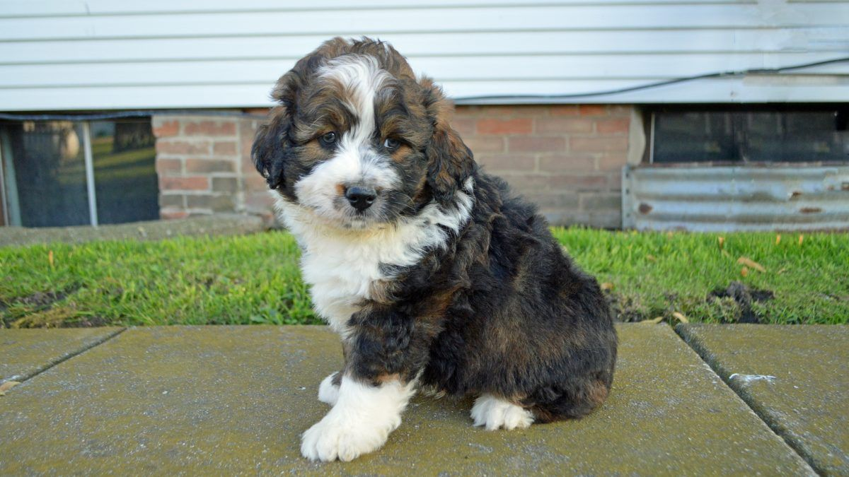 Dixon Male Apri Mini Bernedoodle For Sale Arthur Illinois Bernedoodle Bernedoodlepuppy Bernedoodlepuppiesfors Puppies Funny Cat Gifts Miniature Puppies