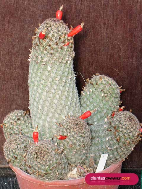 Mammillaria hutcisoniana