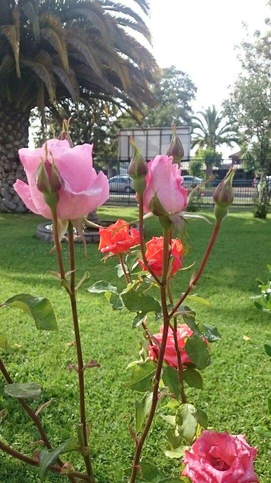 Rosas (Foto Sanfurgo)