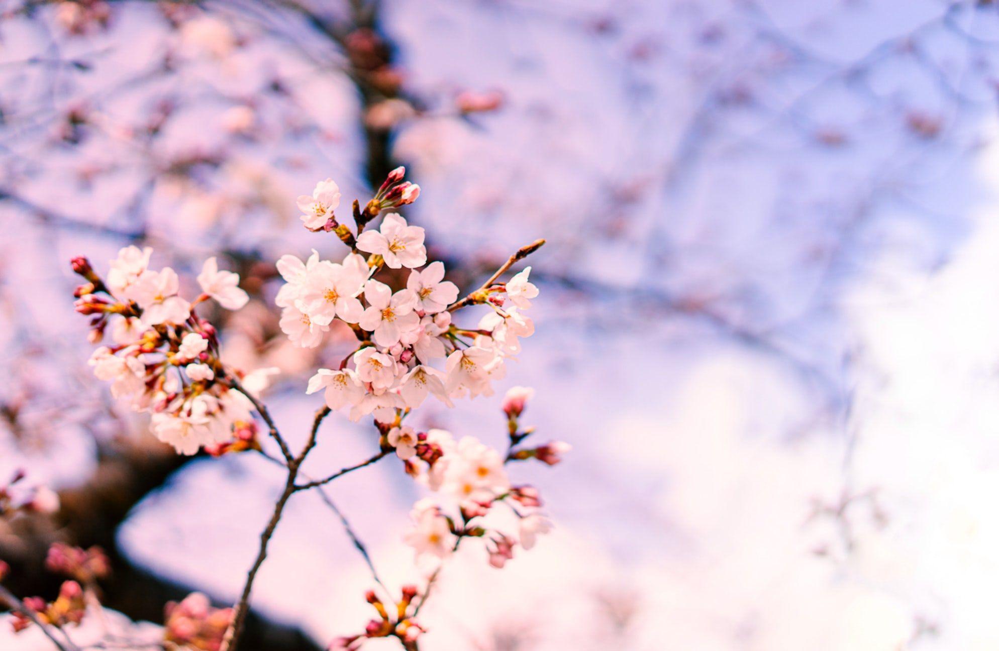 The Beautiful Sakura Season In Japan Japan Photo Spots Beautiful
