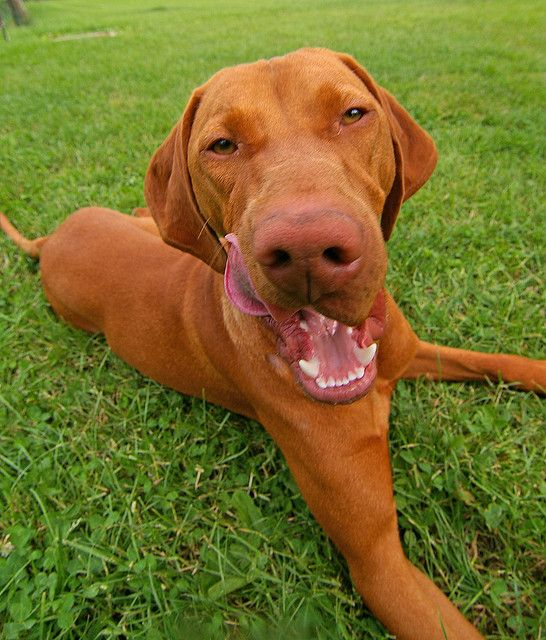 Magyar Vizsla Most Beautiful Dog Breeds Vizsla Best Dog Breeds