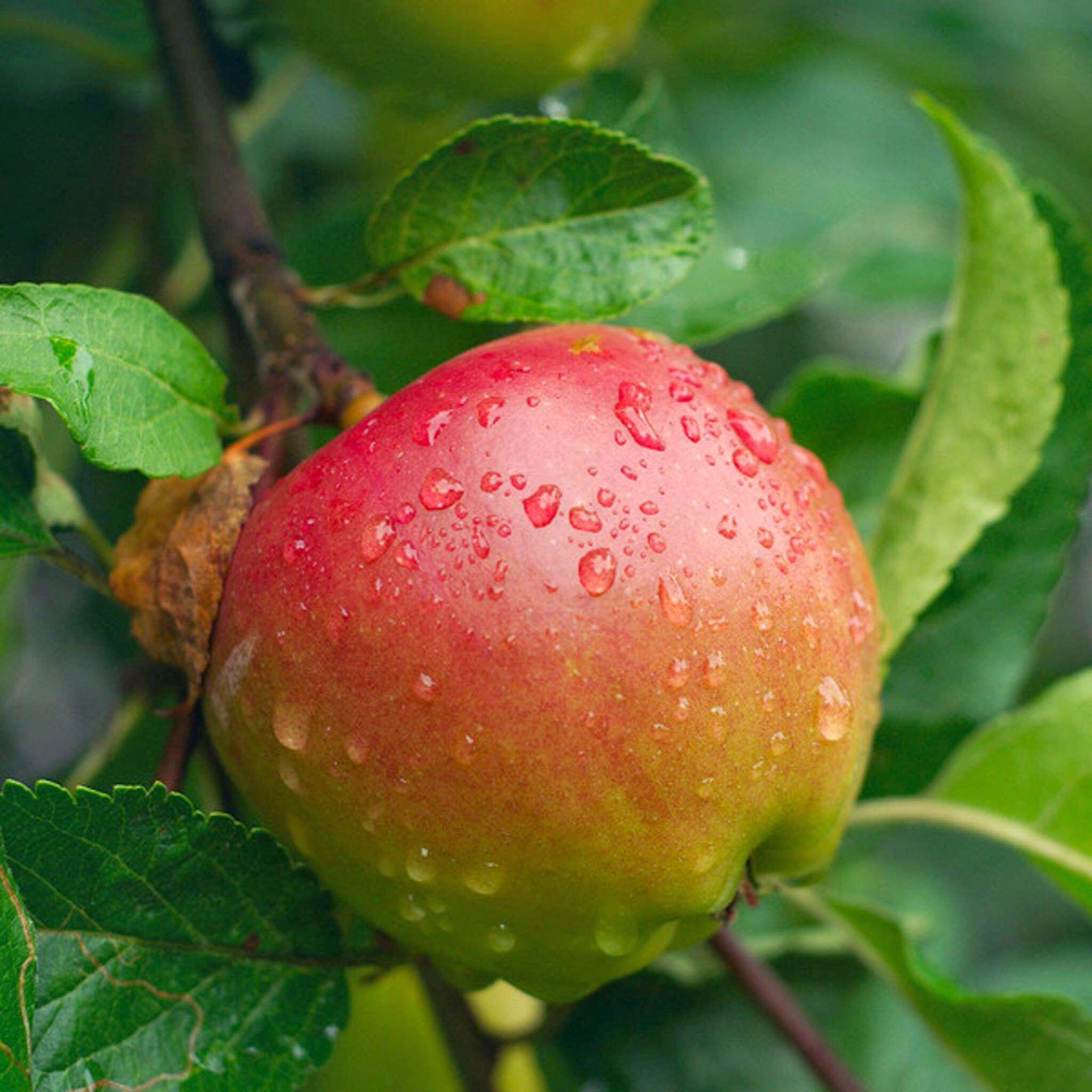 gambar buah asam kandis Buah A Z
