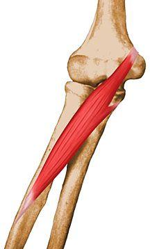 Musculos Origen Inserción Y Acción Anatomia Musculos