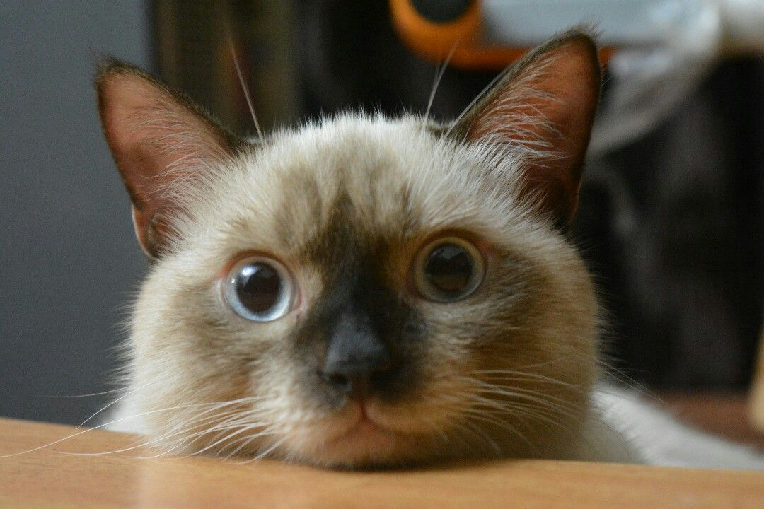 """My cat """"Milo"""" which is Siamese and persian mix breed"""