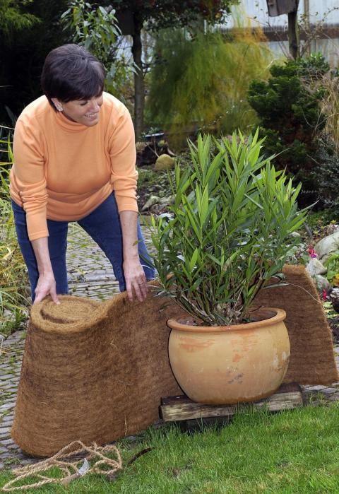 oleander g rtnern pinterest garten immergr ne str ucher und garten ideen. Black Bedroom Furniture Sets. Home Design Ideas