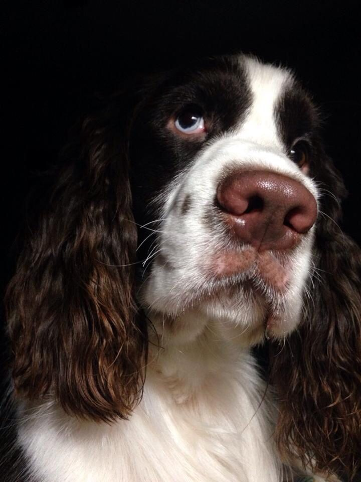 Pin On English Field Springers American Water Spanial