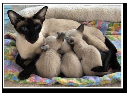 Blakewood Kittens Siamese Mom W Kittens Siamese Cats Kittens Fur Baby Cat