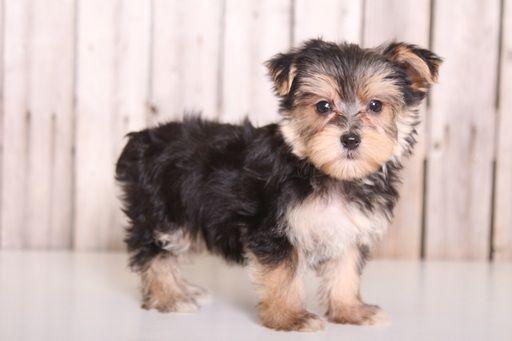 Morkie Puppy For Sale In Mount Vernon Oh Adn 36777 On Puppyfinder Com Gender Female Age 9 Weeks Old Morkie Puppies Morkie Puppies For Sale Morkie