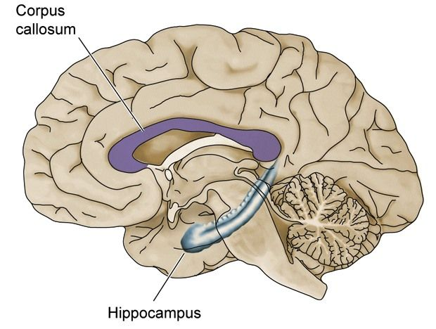 this is where the corpus callosum. it is a flat bundle of neural, Cephalic Vein