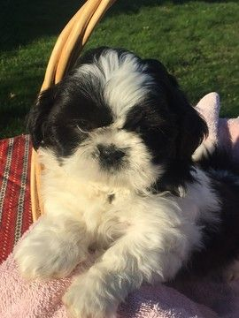 Litter Of 7 Shih Tzu Puppies For Sale In Corvallis Or Adn 49384
