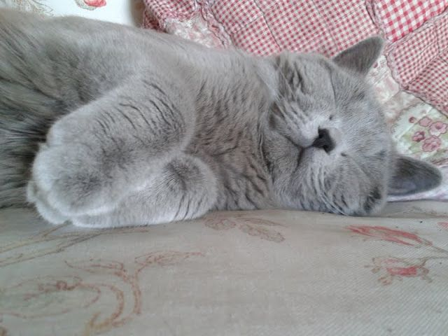 Pin By Helena Rentmeester On British Shorthair Cats Lilac Cuddly