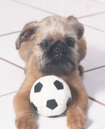 Brussels Griffon ~ The affectionate, charming and curious ...
