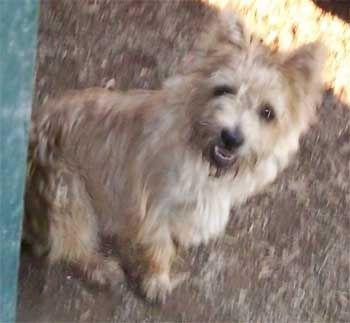 Cairn Terrier Yorkshire Terrier Carkie puppies for sale