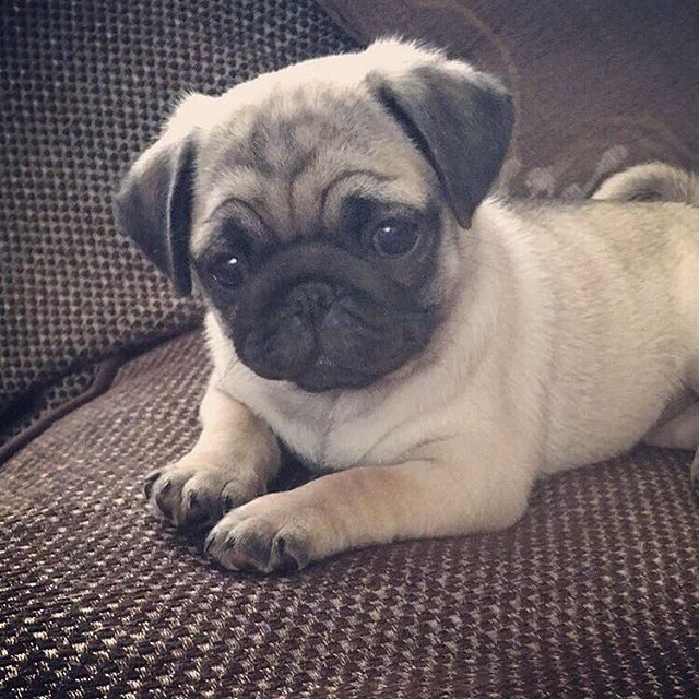 That Pug Face Though So Cute With Images Cute Animals Baby