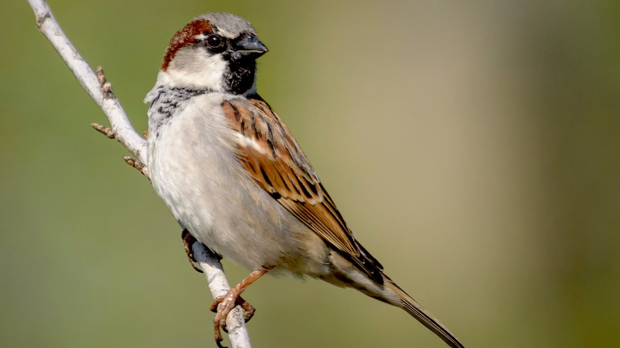 Where Have All the House Sparrows Gone? | House sparrow, Chickens ...