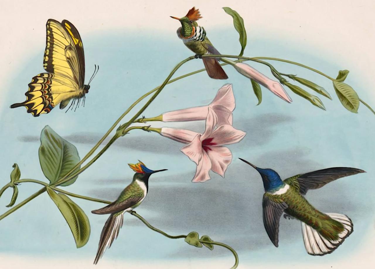 L Ignicolor Et Le Senegali Oiseaux Mouches At Le Natterer Et L Oiseau Mouche Edouard Travies Les Oiseaux Le Scientific Illustration Illustration Fine Art