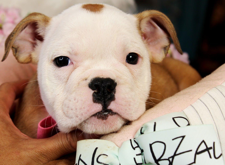 Mini English Bulldog Bring This Perfect Baby Home
