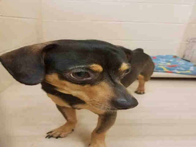 Chiweenie dog for Adoption in Center Township, PA. ADN