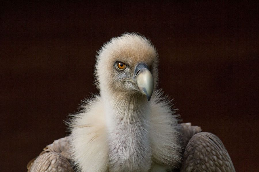 Griffon Vulture by SylvieS