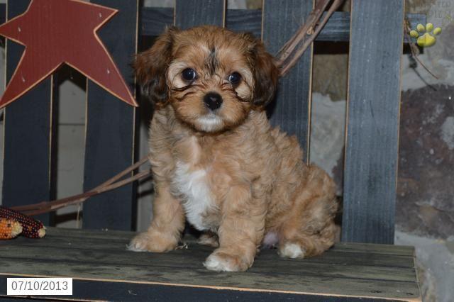 Belle Cavachon Puppy For Sale In Coatesville Pa Cavashon