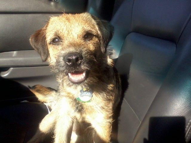 Border Terrier: Best co-pilot ever- meet Oscar