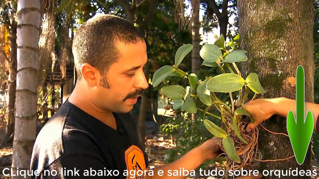 Como  cultivar Orquídeas cattleya loddigesii