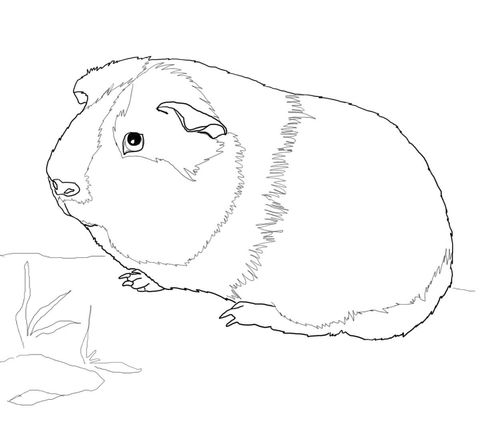 Cute Guinea Pig coloring page from Guinea pig category