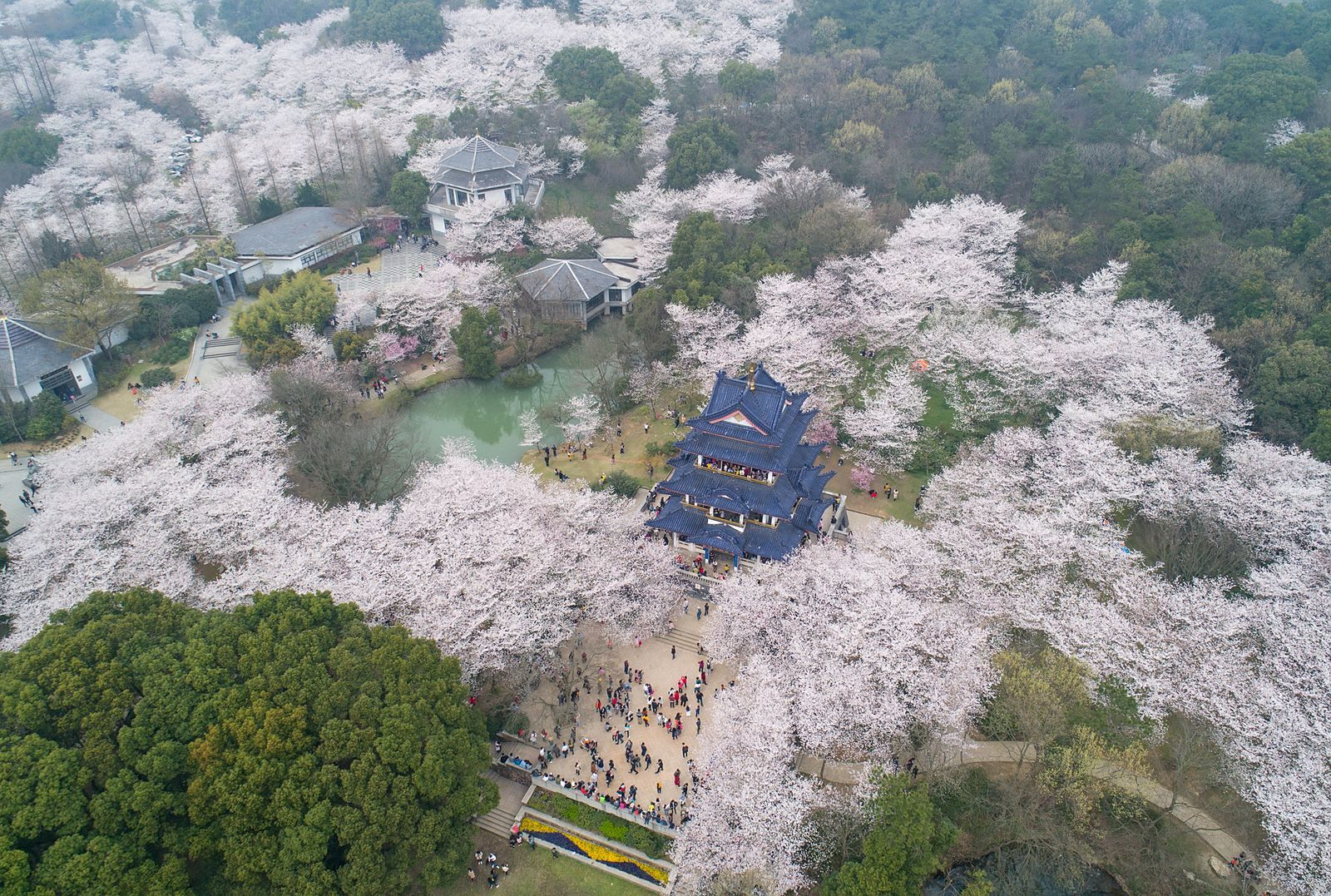 The Best Places To See Cherry Blossoms Around The World Cherry Blossom Season Cherry Blossom Places To See