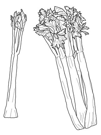 Celery Coloring Page Supercoloring Com Coloring Pages