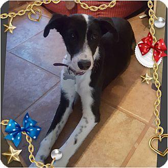 Austin Tx Border Collie Greyhound Mix Meet Florence A Dog For
