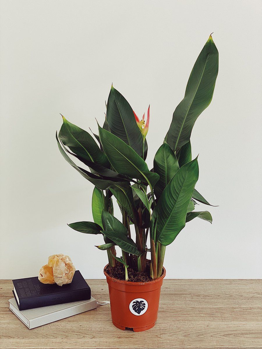 Tallulah Pointless Plants In 2020 Plants Uk House Plants For Sale Plants,New York Times Travel Ban To Europe