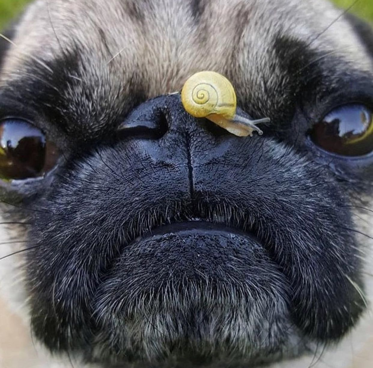 Pin by Tanya B on Animals Pugs Cute animals Dogs