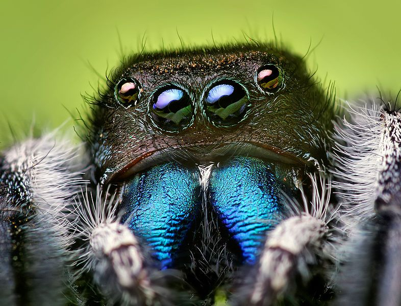 Phidippus audax male (Common Jumping Spider)  Awesome!